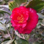 錦葉赤鹿児島:産地は久留米。花期は3〜4月