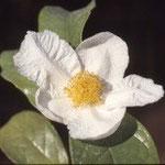 ギガントカルパ:産地は中国、広西自治区博白県ほか。花期は11〜12月。中国名は博白大果油茶