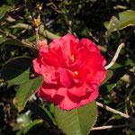 東牡丹:産地は久留米市。花期は11〜2月