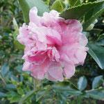 絞昭和:産地は久留米市。花期はは11〜2月