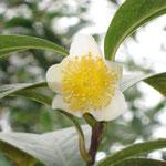 フルフラケア:産地は中国、広西自治区。花期は11〜12月。中国名は糙果茶