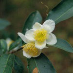 アッサムチャ:産地は中国、雲南省~アッサム地方。花期は11〜1月。中国名は普洱茶