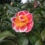 Tama Glitters(タマ・グリッターズ):産地はアメリカ。花期は1〜4月
