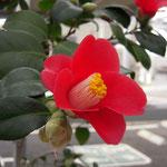 ヤブツバキ(山陰または北陸):山陰、北陸地方のヤブツバキ。花期は12〜3月