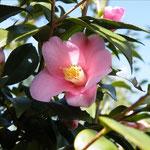 出雲香:産地は久留米市。花期は2〜3月