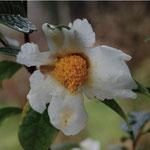 アルボギガス:産地は中国、広東省。花期は11〜12月。中国名は大白山茶