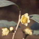 ショウカキンカチャ:産地は中国、広西自治区邑寧県。花期は12〜2月。中国名は小果金花茶