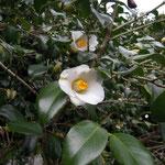 法吉鳥(ホウキドリ):産地は山陰地方。花期は3月