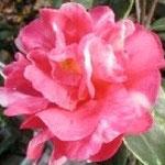 コーネリアン:産地は中国・雲南省。花期は3〜4月。