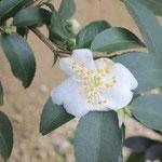 クラシペス:産地は中国、雲南省。花期は10〜12月。中国名は粗柄山茶