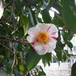 絞臘月:産地は久留米市。花期は11〜3月