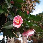 桃仙寺:産地は久留米。花期は3〜4月