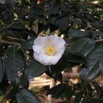 白侘助:江戸椿。花期は11〜3月