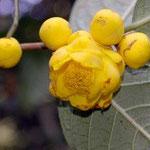 ハコダエ:産地はベトナム北部、タイグエン省。花期は12〜1月