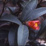 ホンコンツバキ:産地は香港、香港島。花期は1〜3月。中国名は香港紅山茶