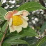 ロウガンキンカチャ:産地は中国、広西自治区竜州県。花期は10〜12月。中国名は弄崗金花茶