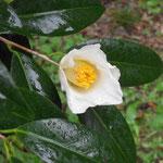 讃岐白百合:産地は香川県。花期は2〜3月