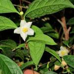 レモンキキンカチャ:産地は中国、広西自治区竜州県。花期は1〜2月。中国名は檸檬黄金花茶