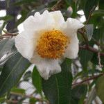 ユンナネンシス:産地は中国、雲南省。花期は12〜1月。中国名は猴子木、五柱滇山茶