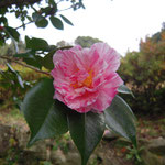 艶姿(アデスガタ):産地は大阪。花期は12〜2月