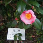 近江曙:産地は久留米市。花期は2〜3月