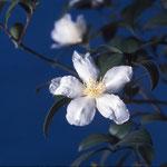 オキナワサザンカ:産地は沖縄県。花期は10〜12月