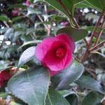 下総侘助(シモフサワビスケ):産地は千葉県。花期は1〜3月