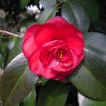 雲珠(ウンジュ):産地は兵庫県。花期は3〜4月