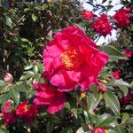 くれない:産地は大阪。花期は2〜3月