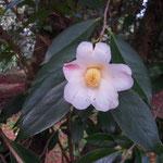 千代姫:産地は神奈川県。花期は3〜4月