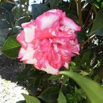 太神楽(ダイカグラ):産地は新潟県。花期は10〜3月