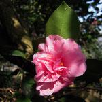 昭和の栄:産地は関西地方。花期は11〜2月