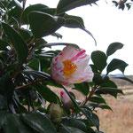 弥生:産地は久留米。花期は3〜4月