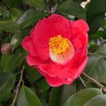 壷中の夢(コチュウノユメ):産地は京都府。花期は1〜4月