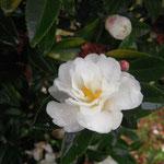 吉良白寒椿(キラシロカンツバキ):産地は愛知県。花期は11〜1月