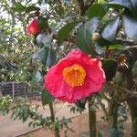 紅妙蓮寺:産地は愛知県。花期は11〜4月