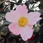 フーリエンシス:産地は中国、四川省会理市郊外の山地。花期は1〜2月。中国名は会理紅山茶