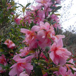 群小蝶(ムレコチョウ):産地は静岡県。花期は11〜12月