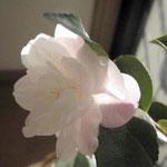 Cinnamon Cindy(シナモン・シンディ):産地はアメリカ。花期は2〜3月