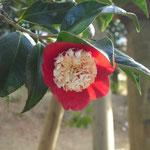 卜伴(ボクハン):江戸椿。花期は3〜4月