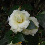 Buttermint(バターミント)::産地はアメリカ。花期は2〜3月