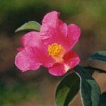 ヤマトウツバキ:産地は中国、雲南省西部。花期は1〜3月。中国名は雲南紅花油茶