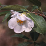 ピタルディ:産地は中国、貴州省など。花期は1〜4月。中国名は西南山茶、西南紅山茶
