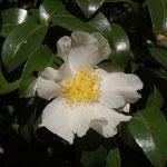 サザンカ:産地は九州、四国、山口県。花期は10〜12月