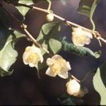 ヘイカキンカチャ:産地は中国、広西自治区平果県。花期は11〜1月。中国名は平果金花茶