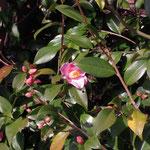 湊の曙:産地は神奈川県。花期は11〜3月