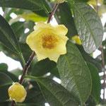 リュウシュウキンカチャ:産地は中国、広西自治区竜州県。花期は11〜1月。中国名は竜州金花茶