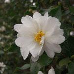 キクカチャ:産地は中国、福建省ほか。花期は11〜12月。中国名は菊花茶