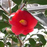 ヤブツバキ(九州):九州地方のヤブツバキ。花期は12〜3月