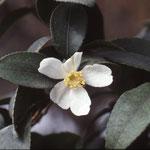 シマサザンカ:産地は中国東部と台湾。花期は10〜12月。中国名は短柱茶